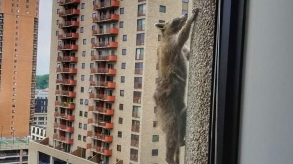A climbing raccoon goes viral
